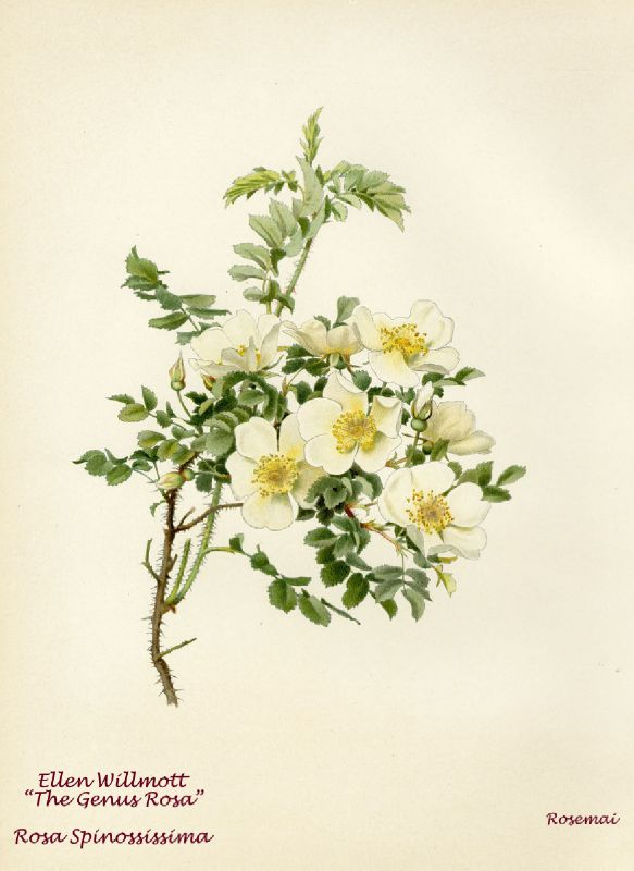 WILLMOTT 1914 Rosa spinossissima