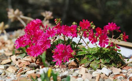 Lewisia_cotyledon_for_Green_Roofs__1_