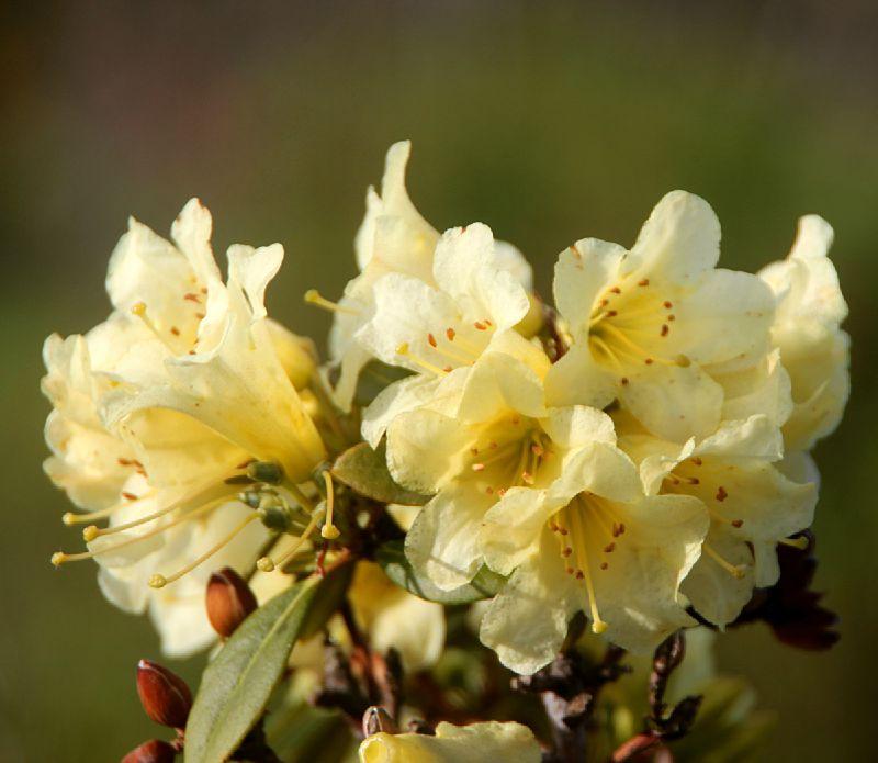 Rhododendron X Saffron Queen