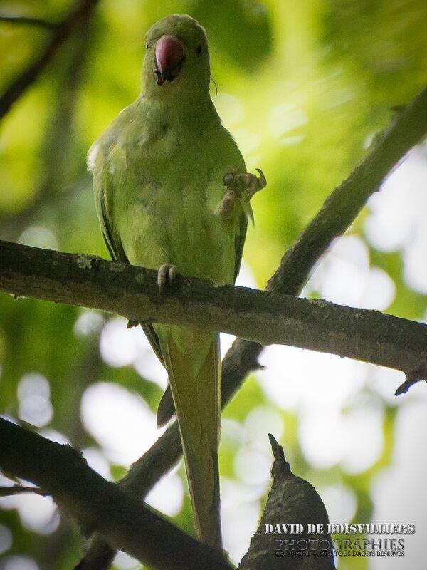 Perruche à collier (Psittacula krameri)