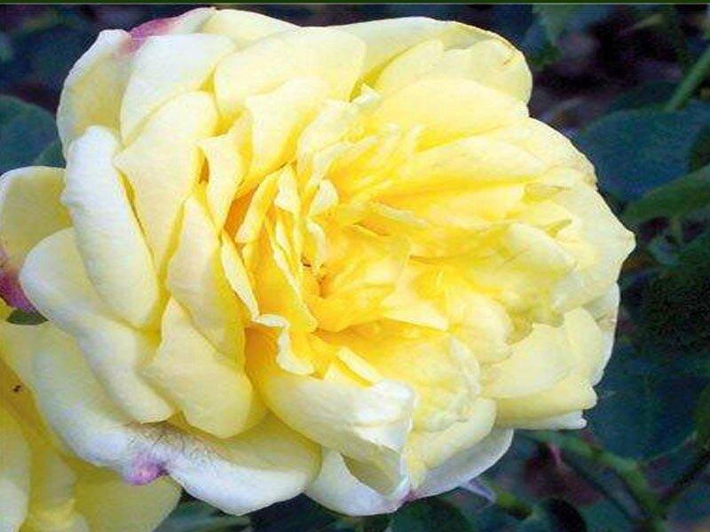 roses_lyonnaises-Souvenir_de_Claudius_Pernet