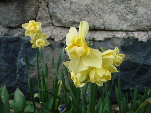 2008 04 24 Des fleurs de Narcisses