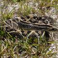 Crotalus durissus : Crotale - serpent à sonnette
