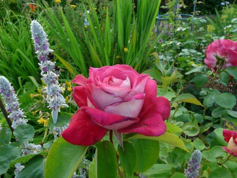 07 - Rosier grimpant - Mon jardin ma maison (3)