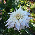 Dahlia décoratif 'Shiloh Noelle'
