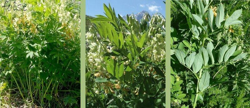 tiges dressées simples glabres feuilles composées de 4-7 paires de folioles