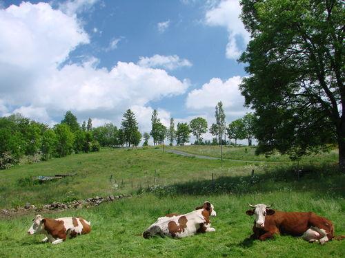 2008 06 12 Les vaches dans le prés