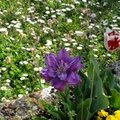 tulipes broussey
