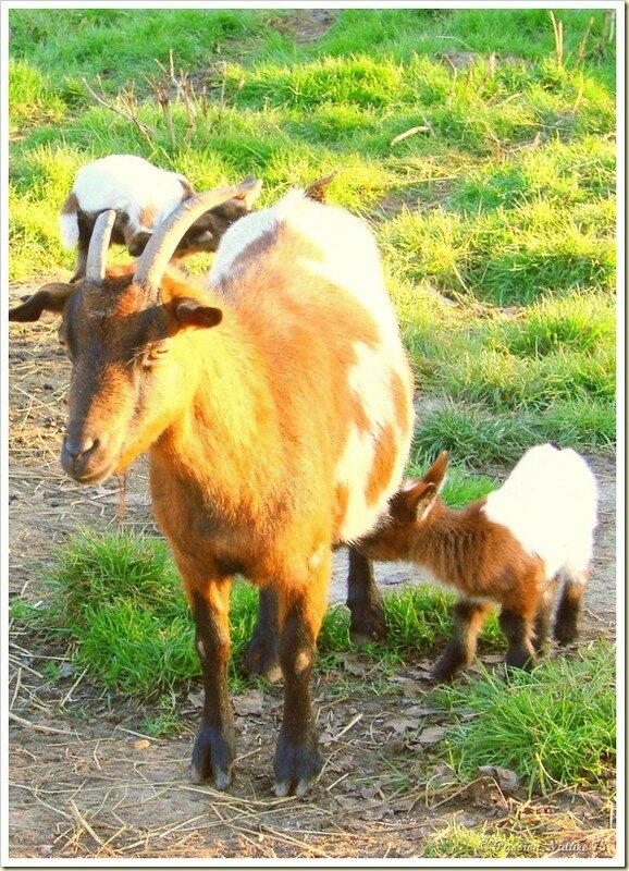 Les chèvres et leurs chevreaux