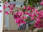 bougainvilliers_roses