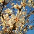 1-Amandier en fleur