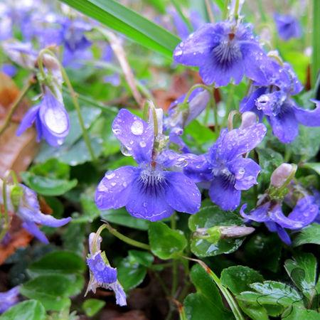 violettes_c