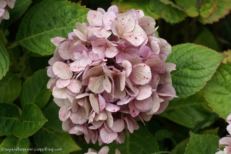 sept hortensia rose pâme