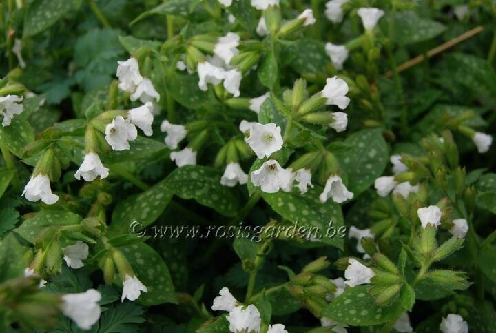 Pulmonaria officinalis ' Sissinghurst White