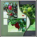Baie de somme 2015 - pommes et pommiers