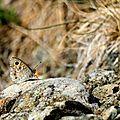 Némusien - Lasiommata maera