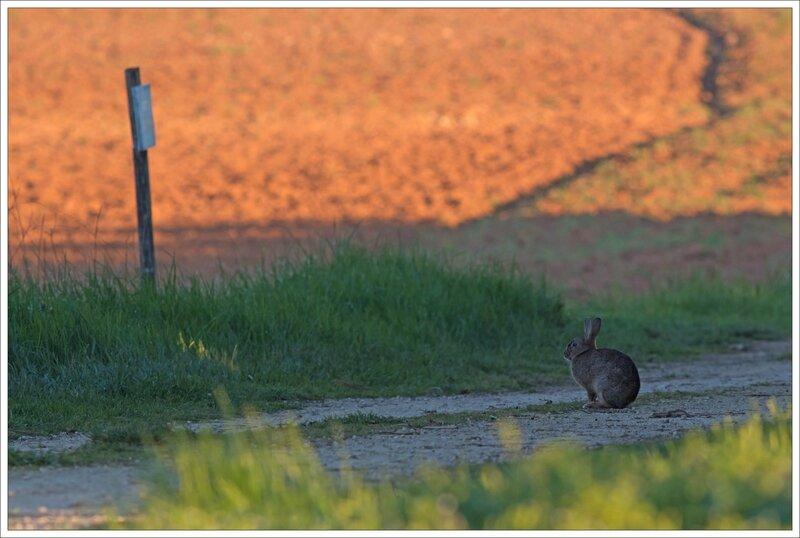 plaine lapin matin assis 060415