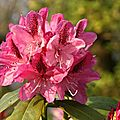 rhododendron X Cosmopolitain
