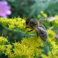 abeille sur solidago