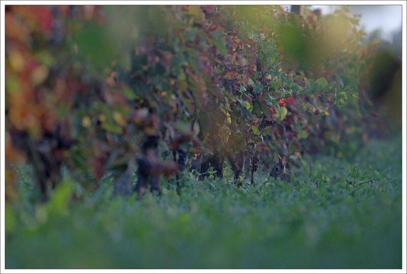 Plaine lapin vigne matin brume 4 300814
