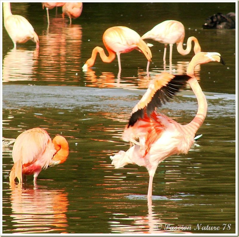 Les flamants roses (16)