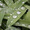 2009 05 14 Gouttes d'eau sur les feuilles de Lis des Incas