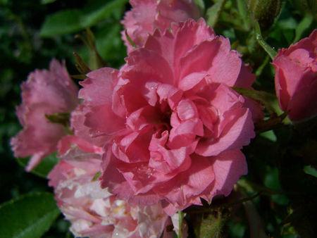 larmes_sur_les_fleurs