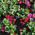 A coeur du concours international de roses d'orléans 2016