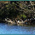 Mouettes perchées Lac Mimizan