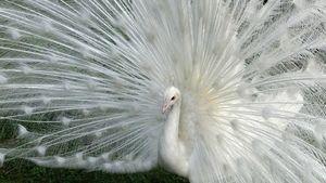 paon blanc 2