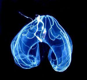 espèce de cténophore -Bathocyroe fosteri