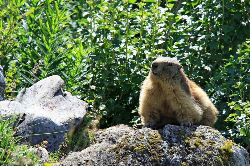 marmottes2