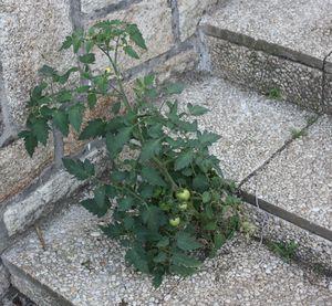 plant_tomate