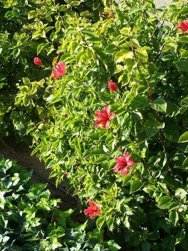 Clin d'oeil-hibiscus