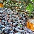 lit de pommes de pin yurtao