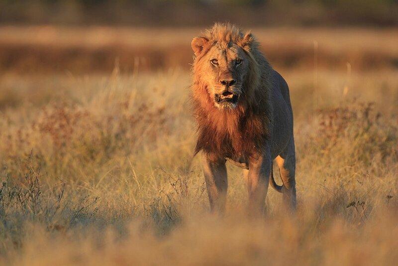 LION DANS LE NATIONAL D'ETOSHA EN NAMIBIE