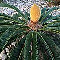 Le cycas, une plante préhistorique mi-fougère, mi-palmier…