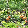 Courageuses tomates
