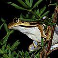 Hypsiboas cf. raniceps - Rainette des pripris