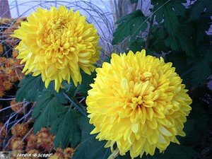 Chrysanthemes_6