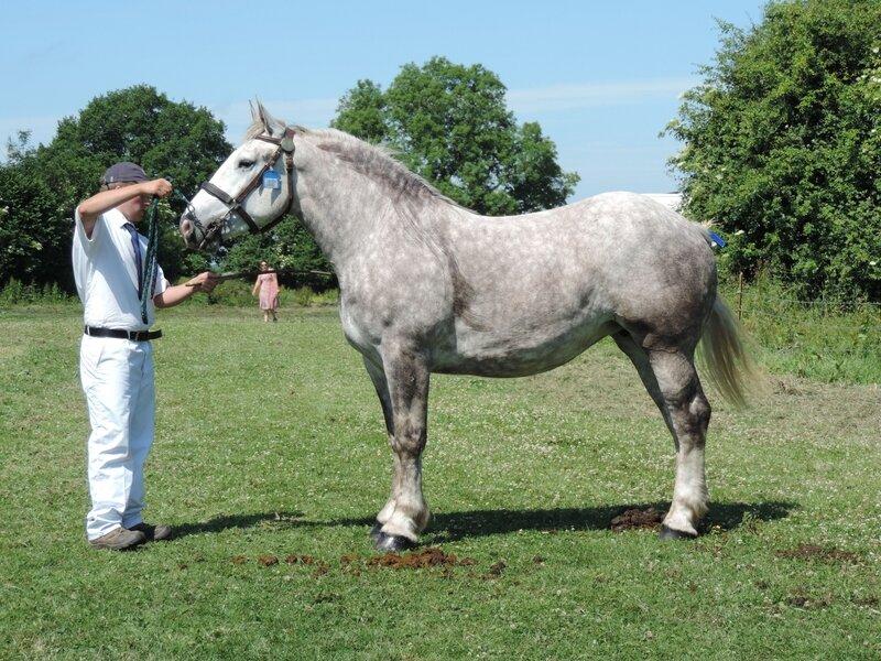Etincelle Bernaville - 11 Juin 2017 - Concours d'élevage local - Bernaville (80) - 1ere (3 ans)