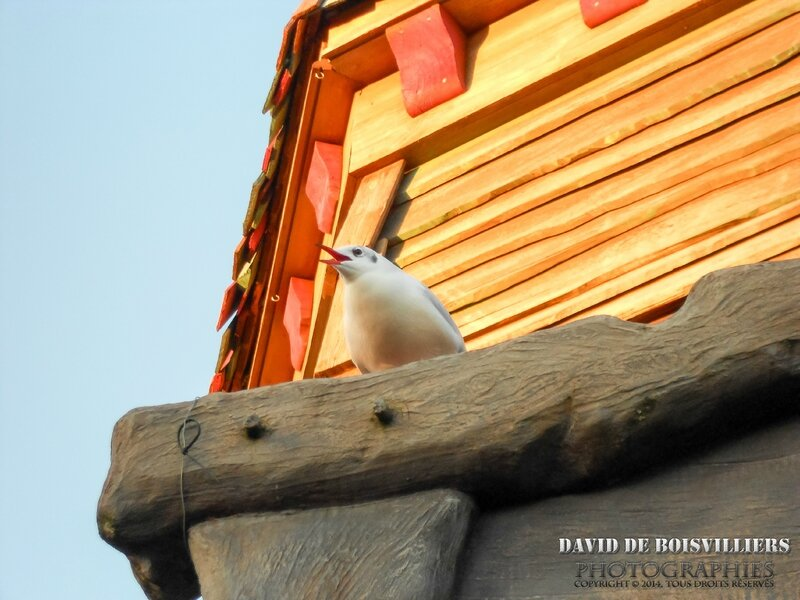 Mouette rieuse - DisneyLand Paris