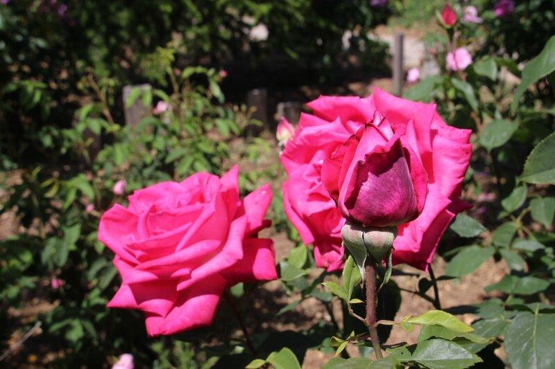 Rose JP N°35