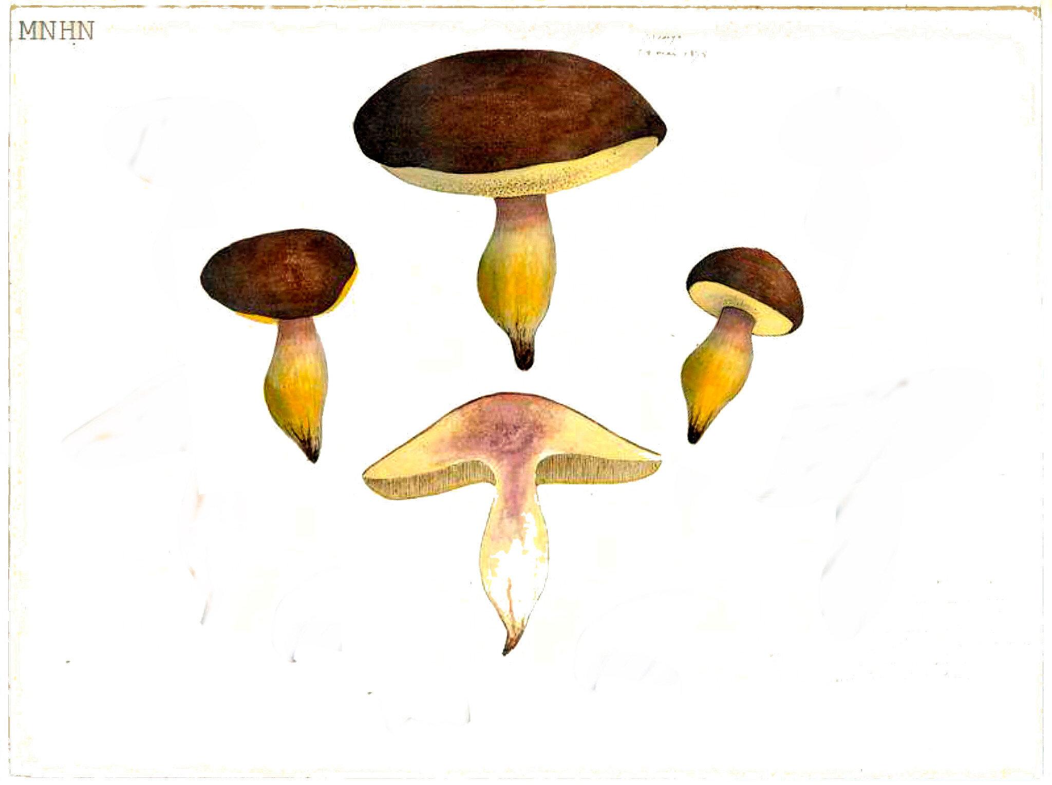 44 Boletus chrysenteron bcl