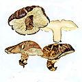 Lentinula edodes IH1 pl 2 Pleurotaceae