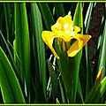 Iris jaunes 2804158