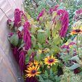 2009 10 13 Différentes fleurs annuelles de mon jardin (2)