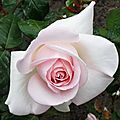 Rose 2605167