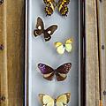 Collection ... papillons naturalisés (1972) * 5 papillons