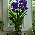 L'orchidée vanda
